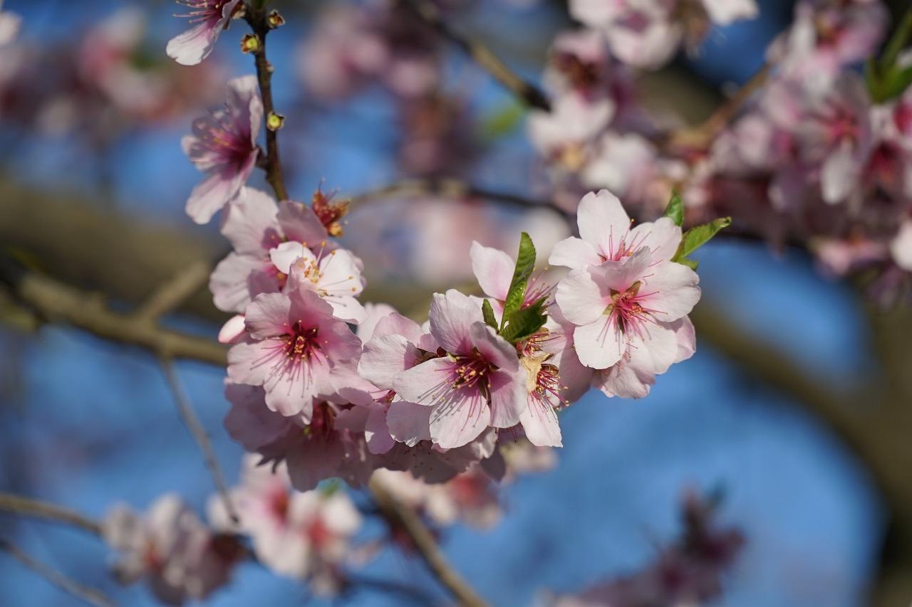 ⑧桜じゃないのよ
